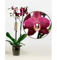 Орхідея фаленопсис Aranka Red