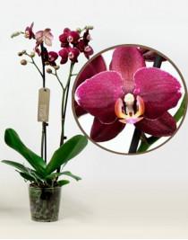 Phalaenopsis Orchid Aranka Red