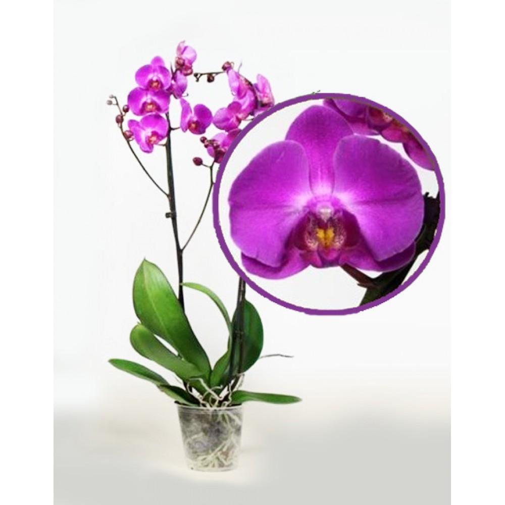 Орхидея фаленопсис Atlantis