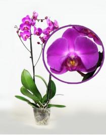 Phalaenopsis Orchid Atlantis