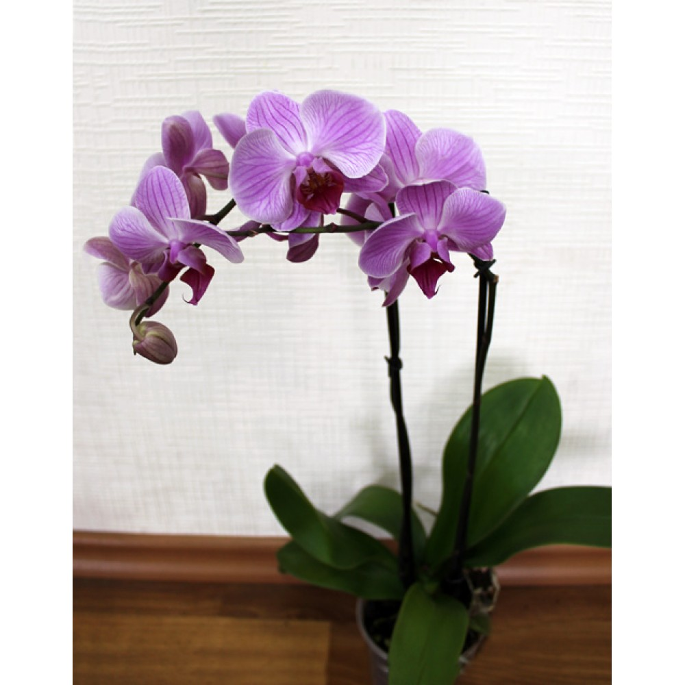 Орхидея фаленопсис Boston