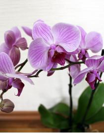 Phalaenopsis Orchid Boston