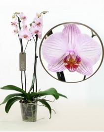 Phalaenopsis Orchid Budapest