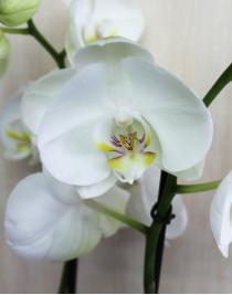 Phalaenopsis Orchid Casablanca