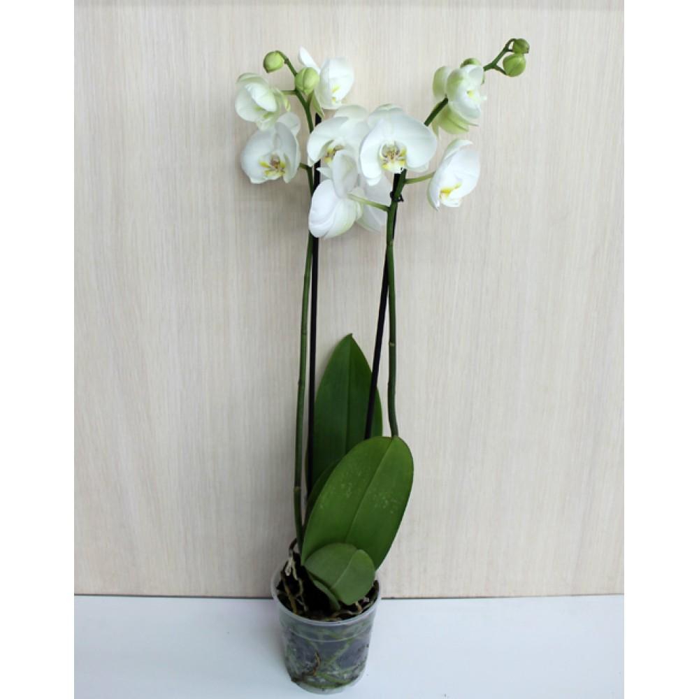 Орхидея фаленопсис Casablanca