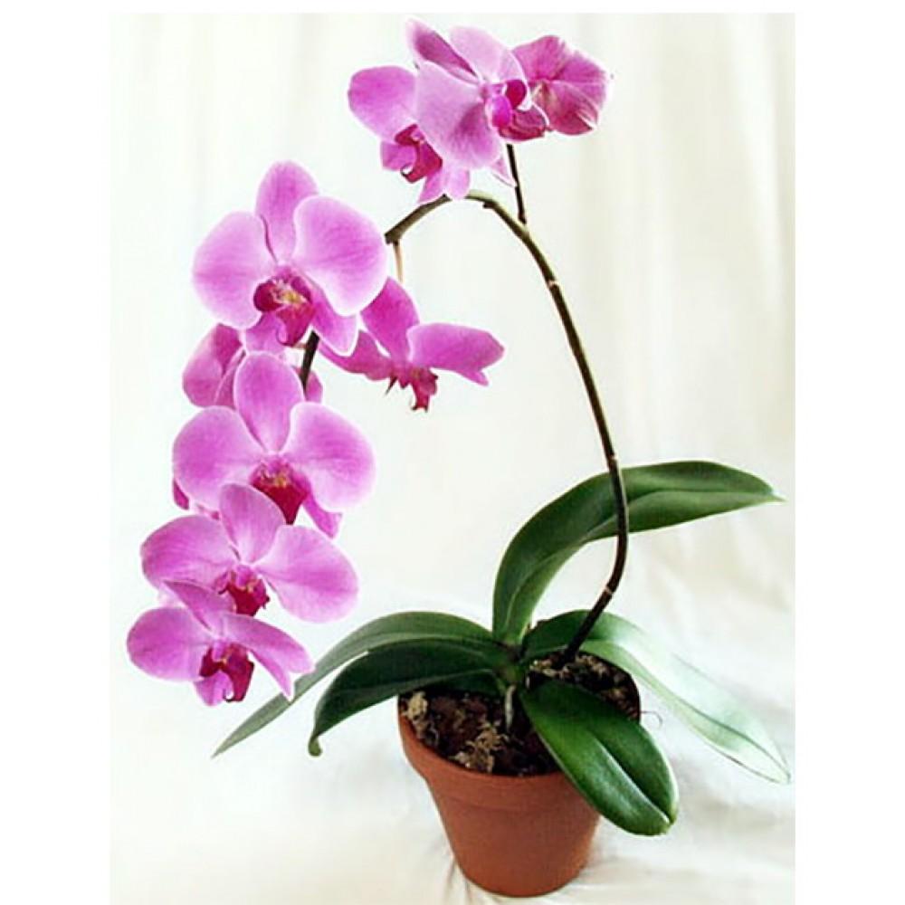 Орхидея фаленопсис Каскад