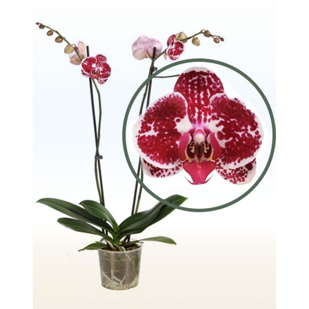 Орхидея фаленопсис Chain