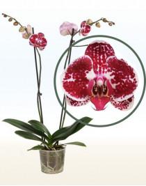 Phalaenopsis Orchid Chain