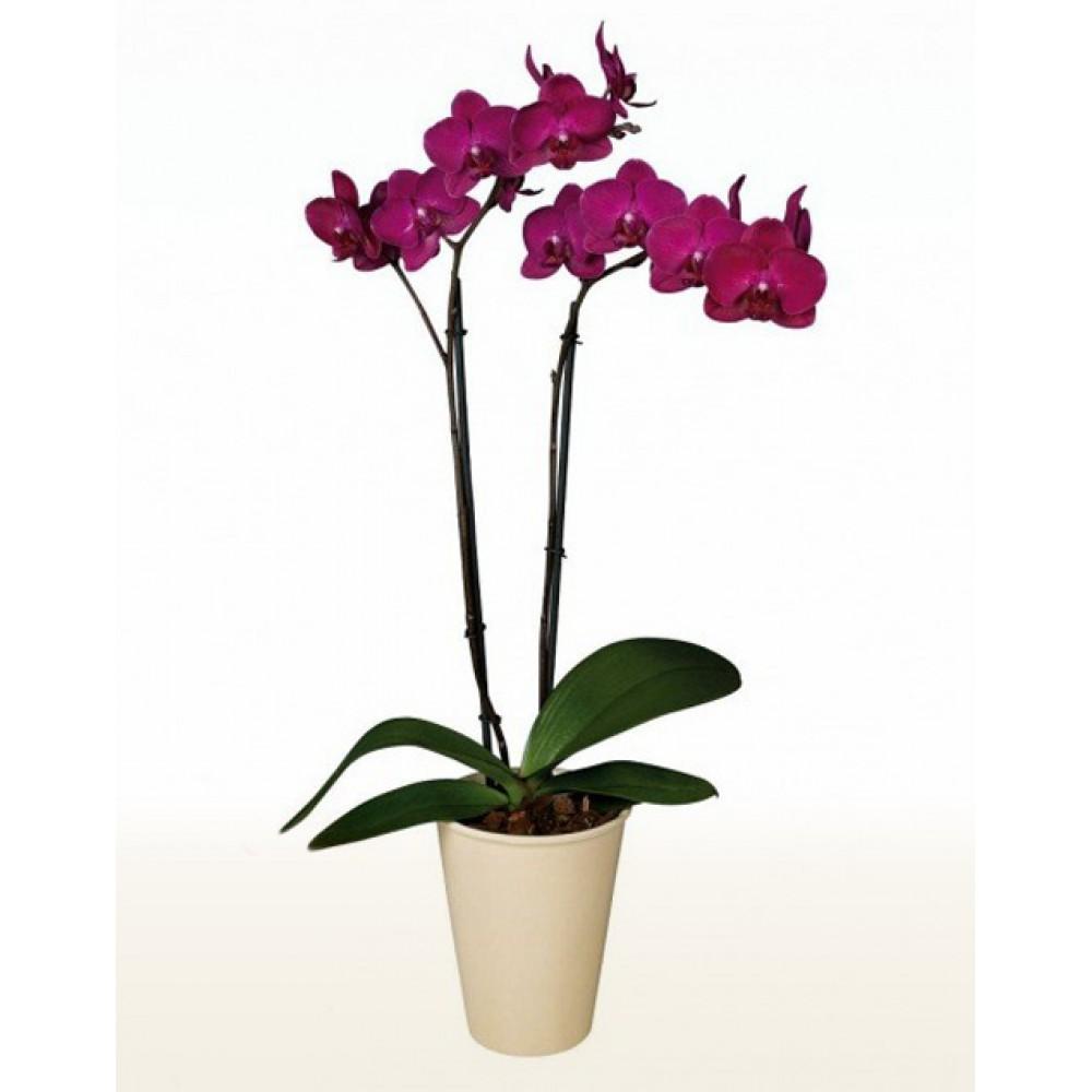 Орхидея фаленопсис Cherry