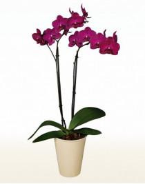 Phalaenopsis Cherry Orchid