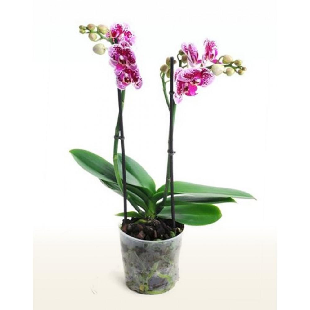 Phalaenopsis Orchid Ciske