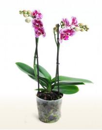 Орхидея фаленопсис Ciske