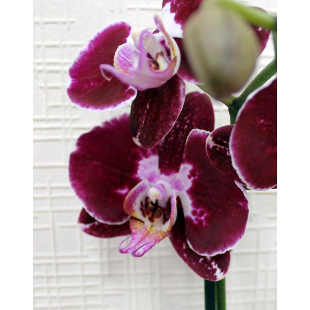 Phalaenopsis Orchid Deep Purple