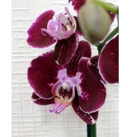 Орхідея фаленопсис Deep Purple