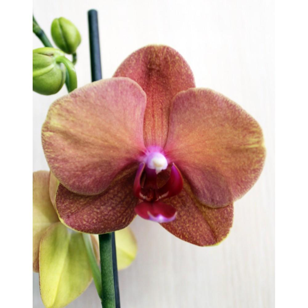 Орхідея фаленопсис Destiny