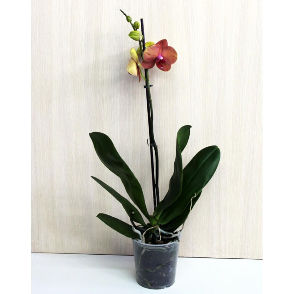 Орхидея фаленопсис Destiny