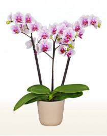 Орхидея фаленопсис Elegance Spotty