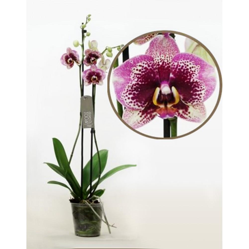 Phalaenopsis Orchid Elegant Dream