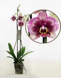 Орхидея фаленопсис Elegant Dream