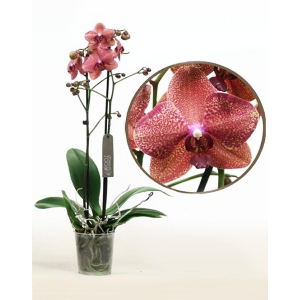 Орхідея фаленопсис Enigma