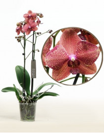 Орхидея фаленопсис Enigma