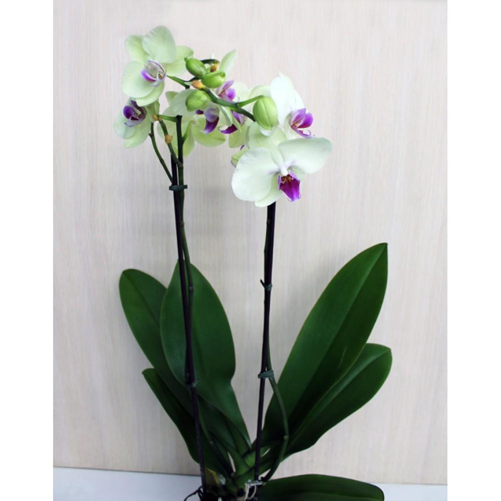 Phalaenopsis orchid Fancy Fresco