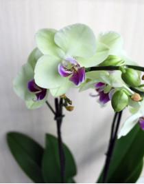 Орхидея фаленопсис Fancy Fresco