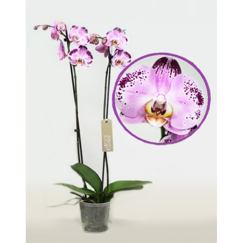 Орхидея фаленопсис Happy Dancer