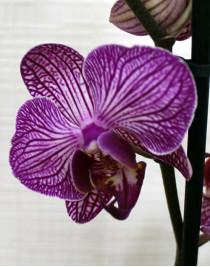 Орхидея фаленопсис Happy Mino