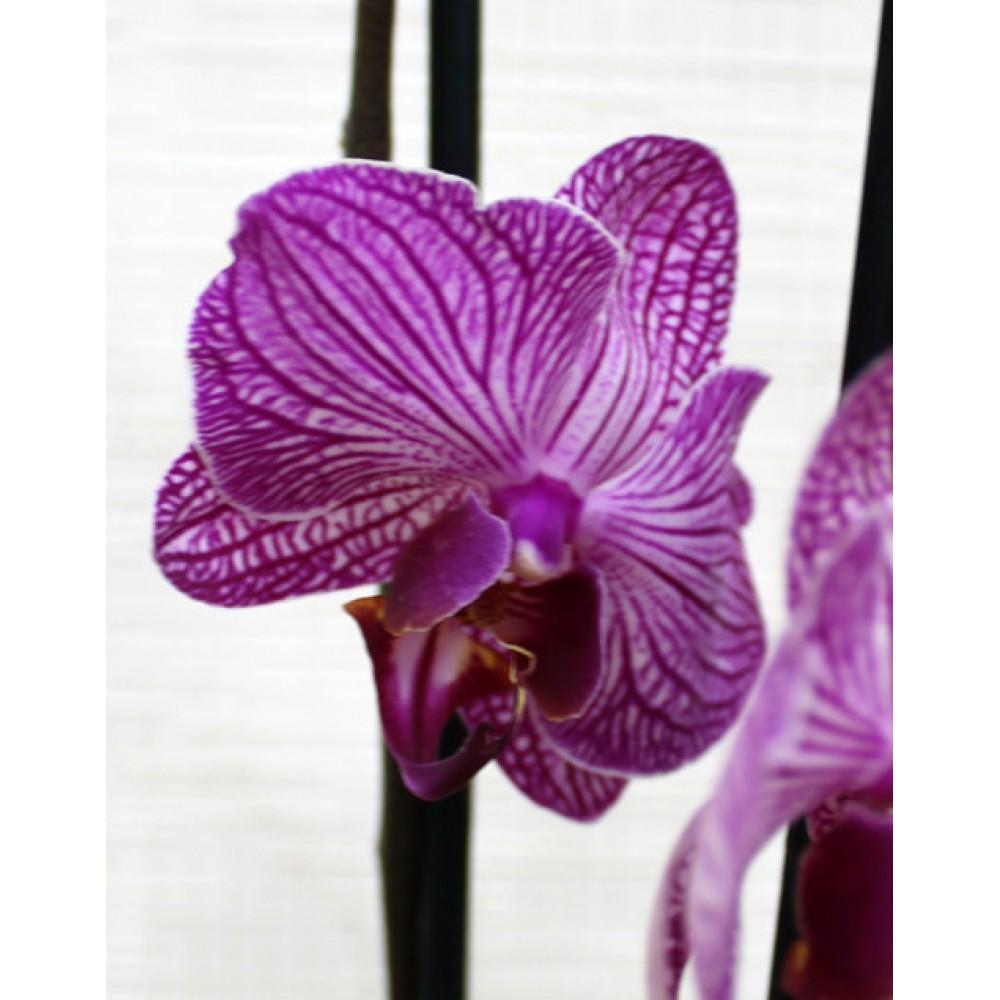Орхідея фаленопсис Happy Mino