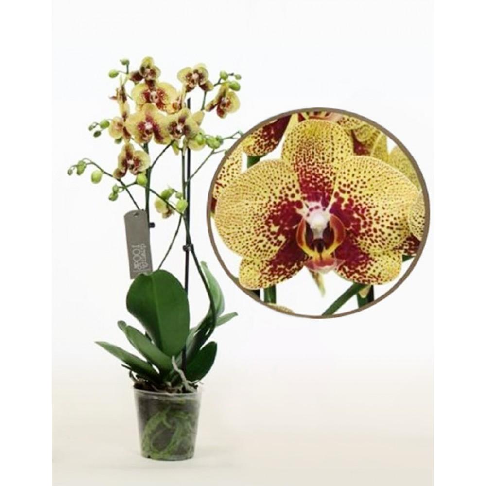 Орхідея фаленопсис Harmer
