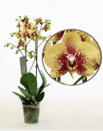 Орхидея фаленопсис Harmer