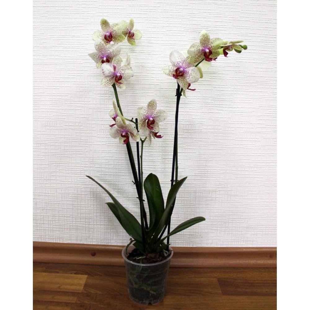 Орхидея фаленопсис Helsinki