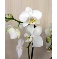 Орхідея фаленопсис Ikaria