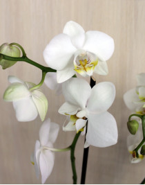 Орхидея фаленопсис Ikaria