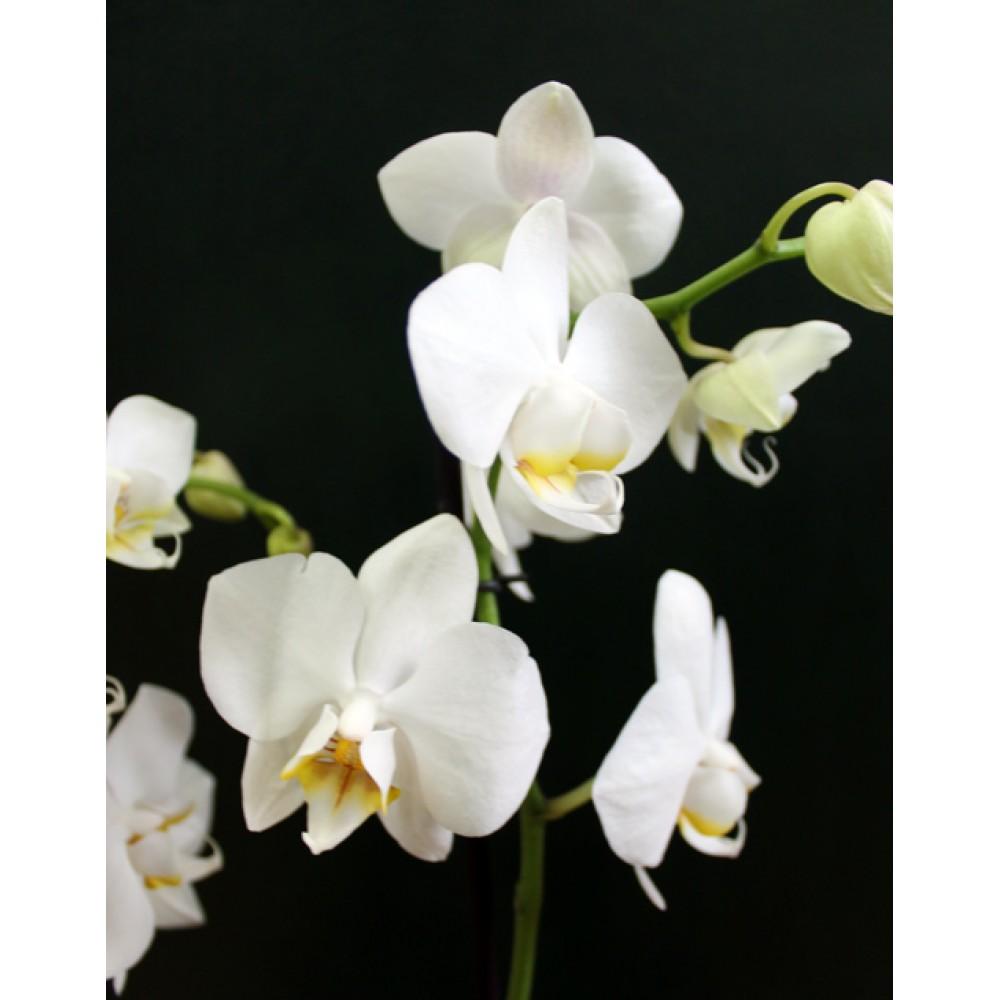Phalaenopsis Orchid Ikaria