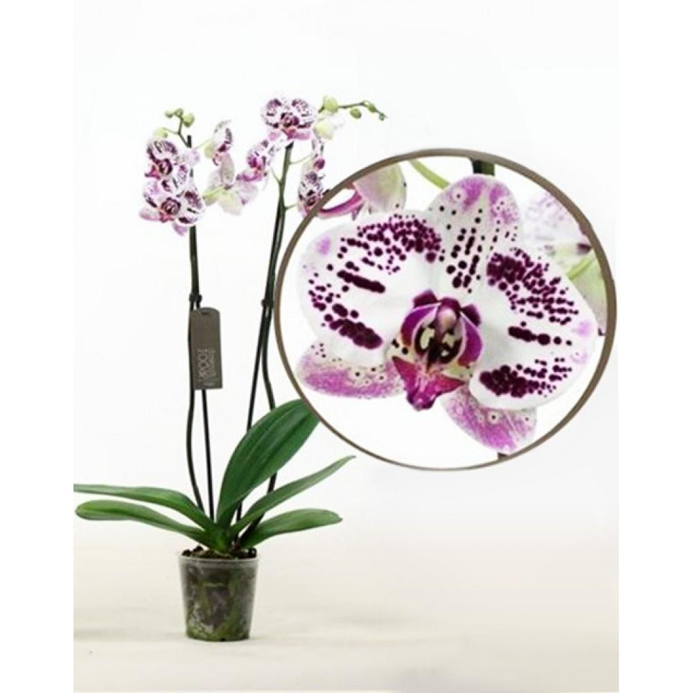 Орхідея фаленопсис Justin