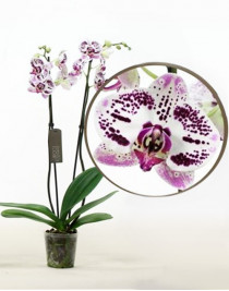 Орхидея фаленопсис Justin