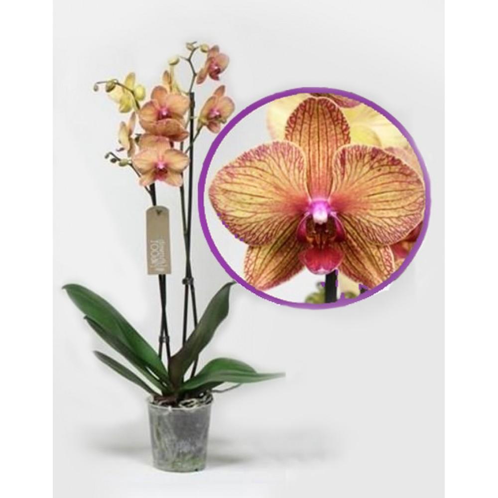 Орхідея фаленопсис Kaleidoscope