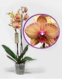 Орхидея фаленопсис Kaleidoscope
