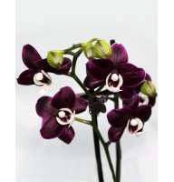Орхидея фаленопсис черный Каода