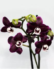 Орхідея фаленопсис чорний Каода
