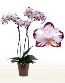 Орхидея фаленопсис Legend, СПЕЦСОРТ