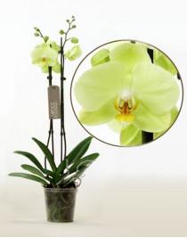 Phalaenopsis Orchid Lemon Lime