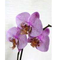 Орхидея фаленопсис Little Spotty