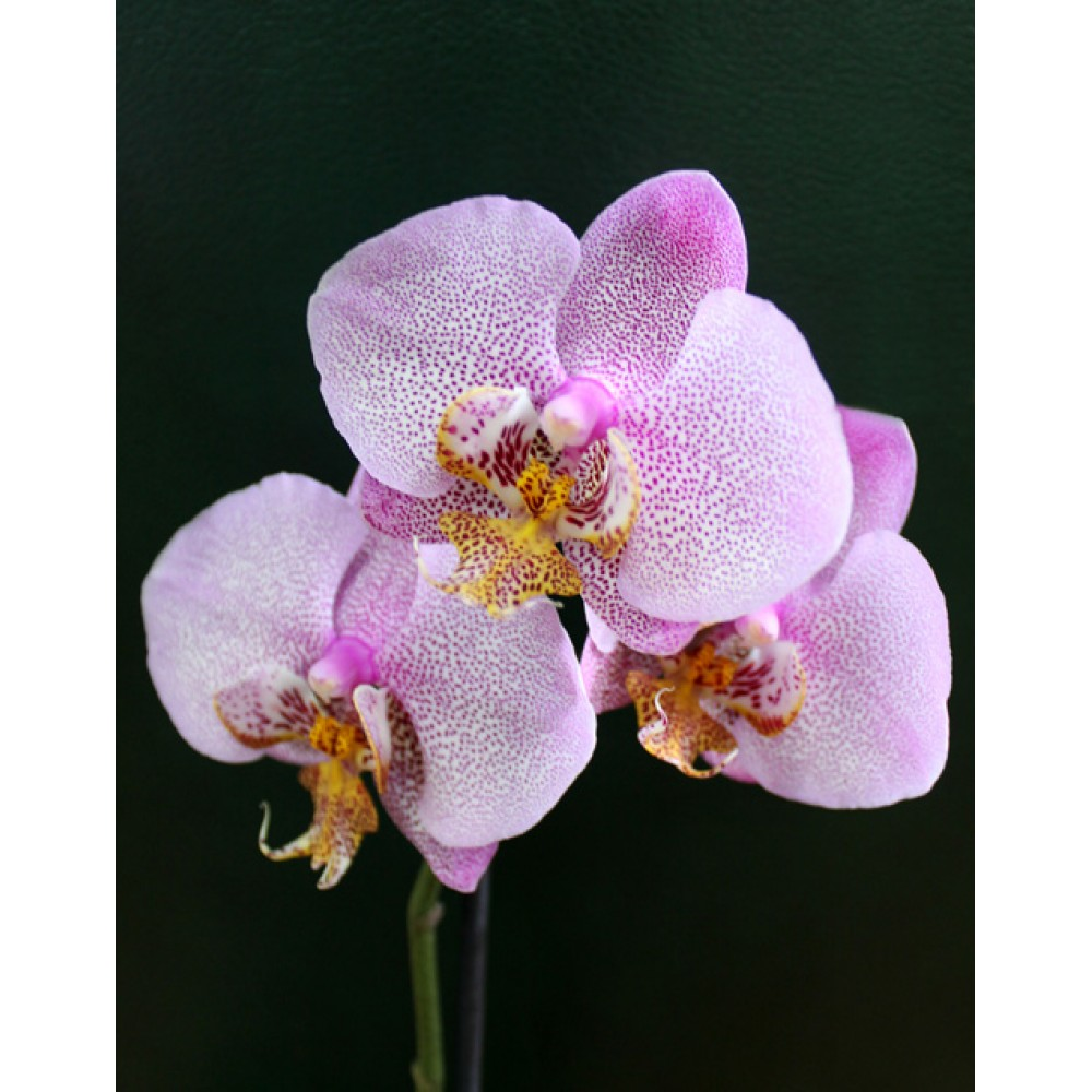 Орхідея фаленопсис Little Spotty