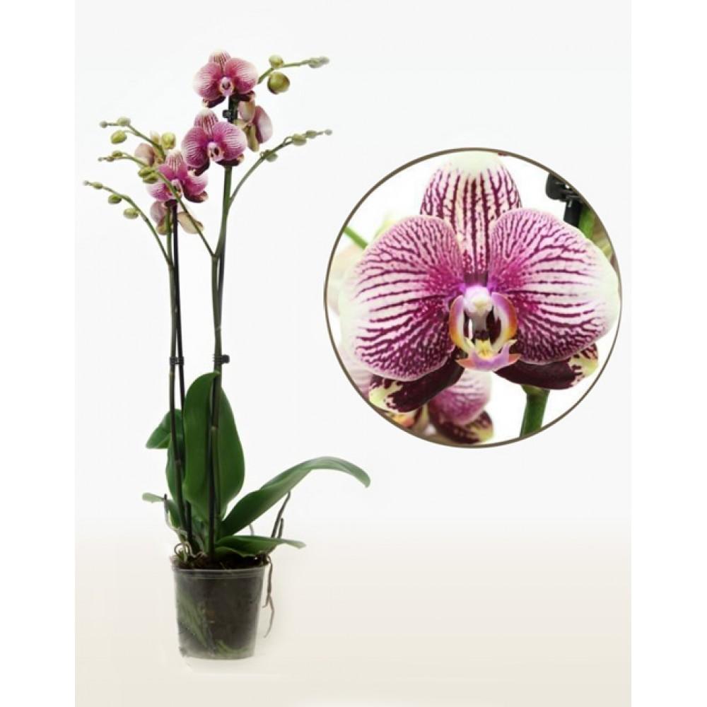 Phalaenopsis Orchid Love Rays