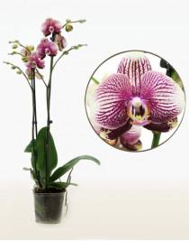 Орхідея фаленопсис Love Rays