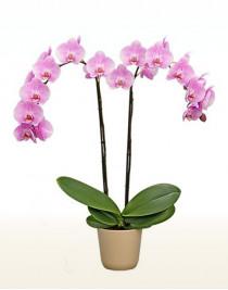 Phalaenopsis Orchid Miami