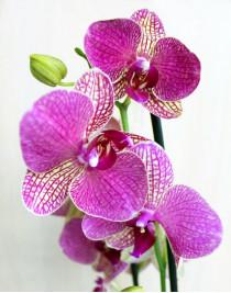 Phalaenopsis Montley Orchid